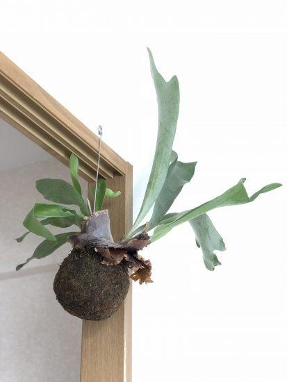ハンギング 植物