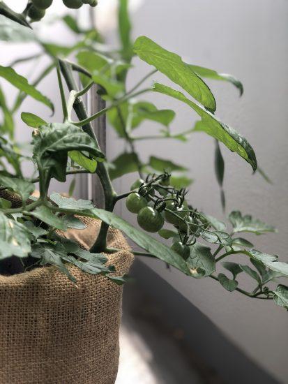 ベランダ菜園 トマト