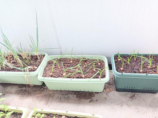 ネギ 家庭菜園